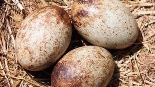 大爷捡到三颗蛋,带给母鸡孵化,孵出的东西把警察都吸引来了!