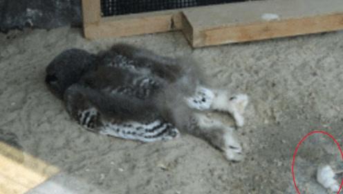 猫头鹰嫌天气太热,整个身子瘫在地上,网友:像极了赖床的自己