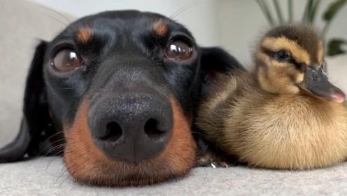 友情是不分种族的,狗狗和18只鸭子的友情!