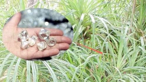 这种植物只长在钻石上 找到它就找到了钻石 碰到就发财了