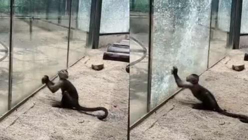 """动物园回应猴子举石头砸裂玻璃:它太聪明,已关""""禁闭"""""""
