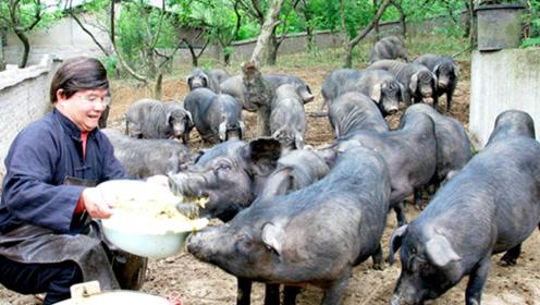 农村零散养殖户养猪,或将被禁止?专家表示:会污染环境!