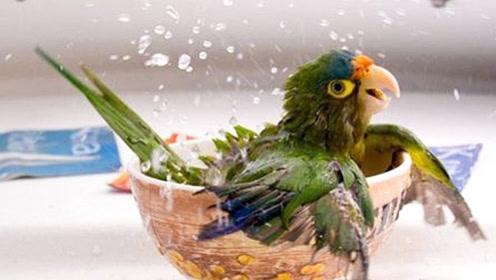 养鹦鹉注意啦!如何帮鹦鹉洗澡?解锁3种好方法