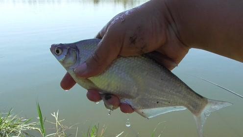 立秋过后是钓鱼的好时节,几把窝料下去,鳊鱼鲫鱼连着上钩!