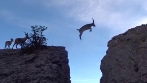 6只羚羊飞跃万丈悬崖,第六只才是高手,果然高手都压轴出场!