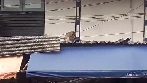 泰国的一只猴子绑架小猫,然后把它作为人质放在屋顶上