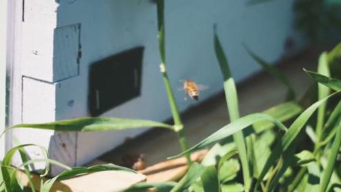 为什么总有蜜蜂围着你飞舞?其实蜜蜂是有重要事情通知你