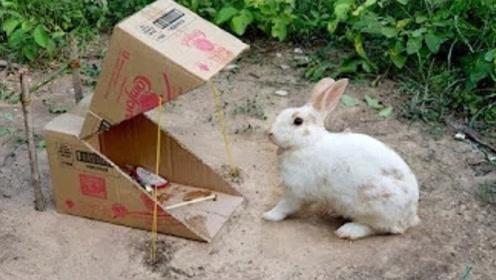 牛人用普通纸箱,自制捕兔机,野兔靠近乖乖束手就擒!