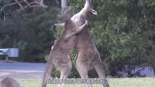 同类动物打架精彩场面,袋鼠打架劝不住,鱼儿打着打着就亲上了?