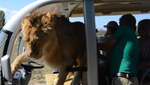 狮子当司机!饲养员疯狂劝阻,雄狮:要开车了,快上车!