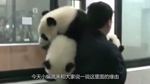 大熊猫为什么有黑眼圈,黑眼圈有什么作用吗?看完可算涨知识了