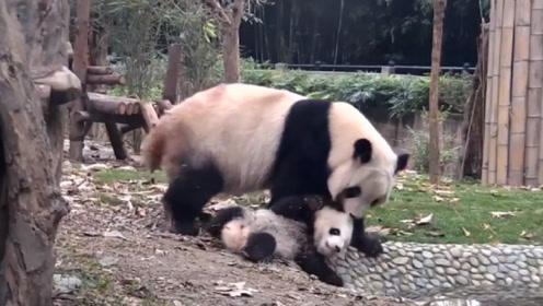 熊猫一巴掌把宝宝拍沟里,好半天才想起是亲生的,下一秒憋住别笑
