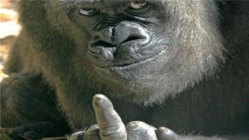 银背大猩猩的实力被高估了,别说老虎了,实际上连豹子都打不过?