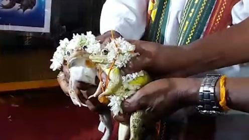 """印度人为了""""求雨"""",为青蛙举办婚礼,网友:不如请萧敬腾"""