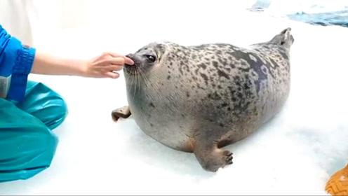 这只明星海豹的脖子伸缩自如 游客笑:它胖到像一颗球