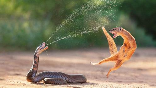 黄鼠狼凭啥能捕食眼镜蛇?想知道答案的看仔细了