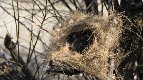 鸟巢都是露天的,下雨不会淋湿吗?原来鸟这么聪明,大开眼界了