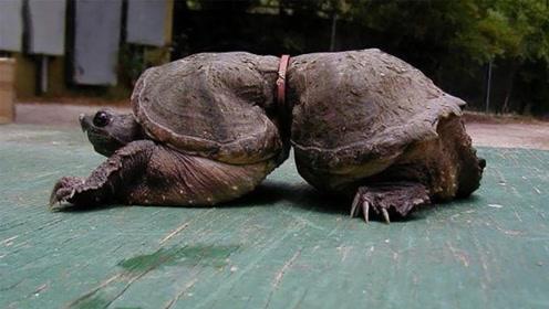 乌龟中也有异形的存在?知道原因之后,瞬间没话说了!