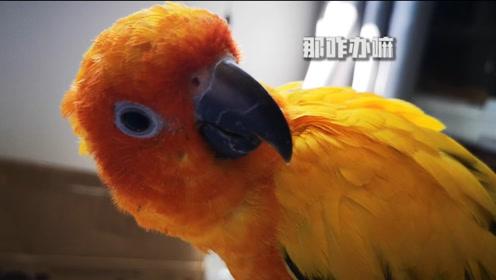 小鹦鹉一吃东西就吐,吐完竟然全蹭在主人身上了,你说这气人不