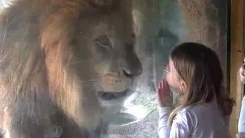 小女孩隔着玻璃亲吻狮子,不料接下来的一幕,让小女孩措手不及!