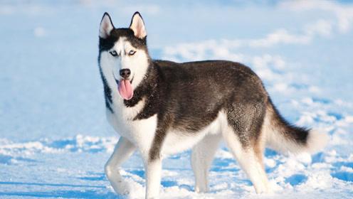 """哈士奇为什么不能当警犬,老外用实验告诉你,真不是因为""""智商"""""""