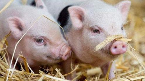 为什么非洲猪瘟难以消灭?听完专家所言,才了解其中隐情