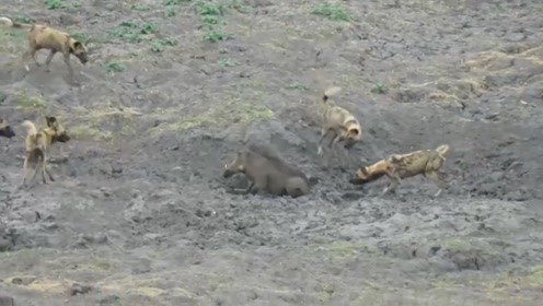 疣猪惨遭野狗群围攻,下一秒做出惊人之举,竟将屁股埋在泥潭中
