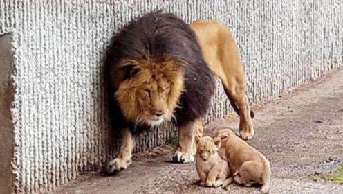 雄狮第一次见儿子,一掌把儿子打倒,下一秒雌狮到达了战场