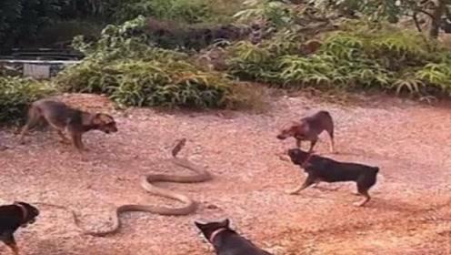 眼镜蛇误闯民宅,反被农村土狗合伙围殴,蛇:我错了