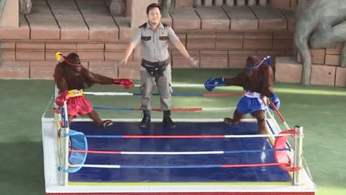 2只猩猩上场打拳击,比赛才刚宣布开始,就把观众逗笑了