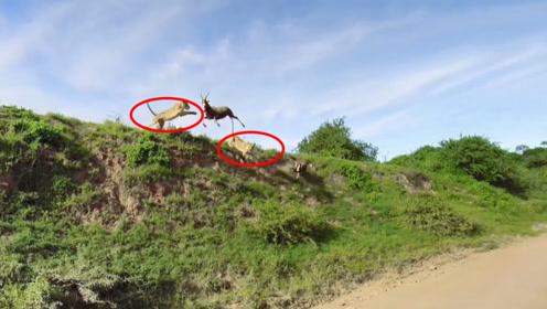 羚羊被两只狮子夹击,羚羊直接跳下山崖,下一秒,肠子都悔青了