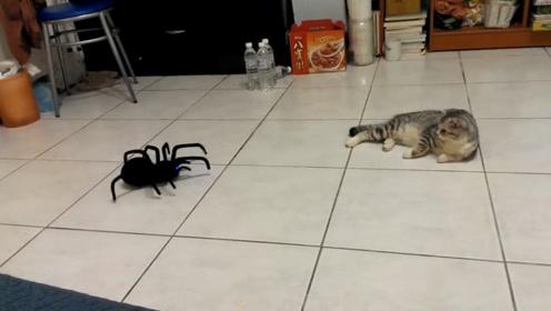 猫咪遇上蜘蛛会怎样?小伙拿出了一只黑寡妇,猫的反应太逗了!