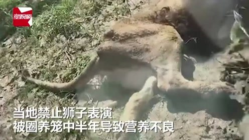 辽阳动物园两狮子瘦成皮包骨,园方:此前在演艺公司营养不良