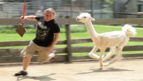 羊驼被剪毛后怀恨在心,逮到机会疯狂报复,镜头拍下搞笑过程!