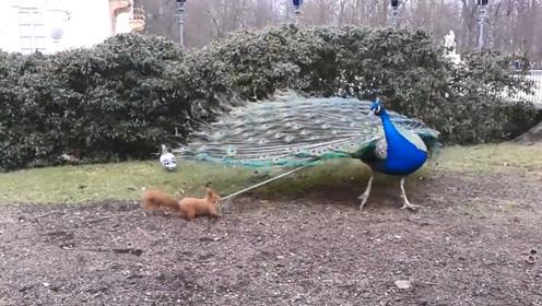 孔雀正在开屏,被一只小松鼠一把扯住,下一秒忍住别笑