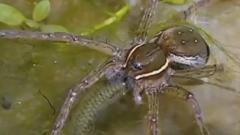 水蜘蛛自制氧气装置潜水捕鱼,太不可思议了!