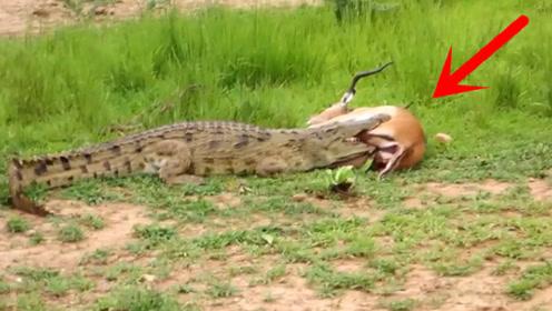 鳄鱼咬住不松口,羚羊憋足劲儿,一脚踢进鳄鱼喉咙,瞬间一脸酸爽