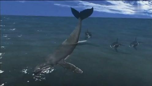 座头鲸对付凶残的虎鲸还是有杀手锏的