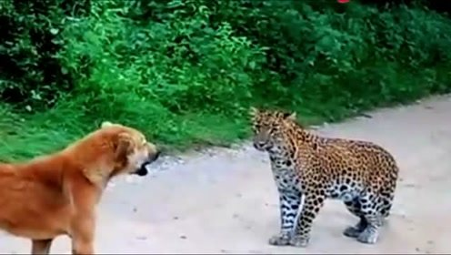 狗狗遇到美洲豹,吓得快哭了