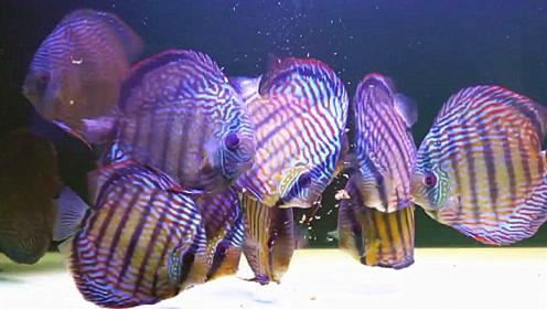 七彩神仙鱼喂养成这模样,感觉美极了,看后特想买两条养在家里
