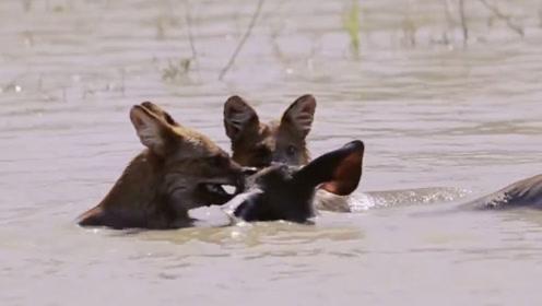 野狗组团围攻落单桑巴鹿,咬住头用力按进水里,攻势太猛烈