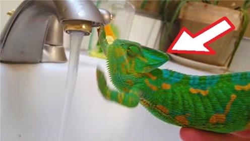 变色龙的变色对水有用吗?老外用镜头记录实验过程,一起来见识下
