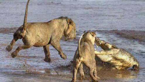 狮子捕食鳄鱼,意想不到的事情发生了,镜头拍下惊现瞬间!