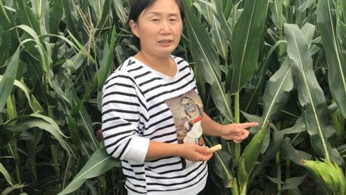 农村媳妇在玉米地里发现啥宝贝?60元一斤都难买,大家见过吗?