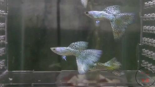 精品孔雀鱼,养殖场问我要买吗?我鱼缸孔雀鱼都团灭了,不敢出手