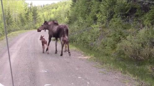 驼鹿带着孩子行走在公路上,为了保护幼崽,竟攻击了汽车