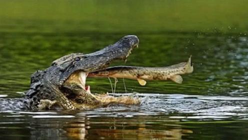 世界上最凶残的鱼 一只鳄鱼5分钟被吃完