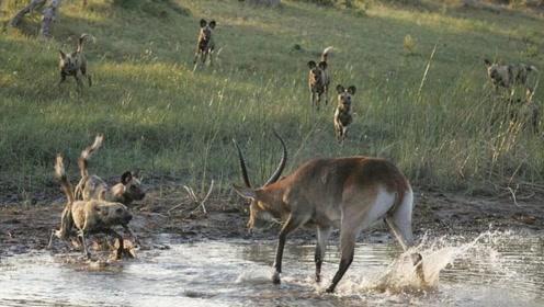 倒霉羚羊跳进泥坑躲野狗,结果却瞬间阵亡,只因它忽略了这一点