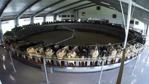 大型挤牛奶机器,可以同时挤60头奶牛,两个小时搞定