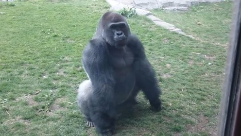 小孩不断挑衅银背大猩猩,下一秒意外发生,猩猩一拳打碎玻璃